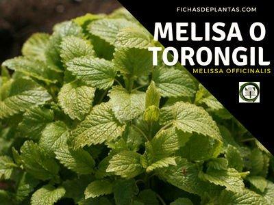 Melisa o Torongil, Planta Medicinal