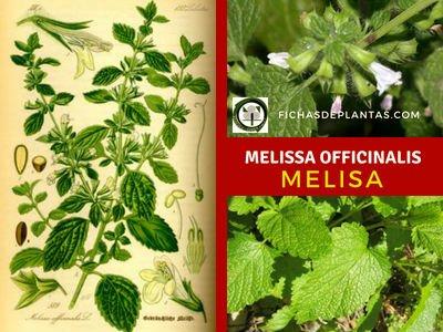Melissa officinalis, Melisa