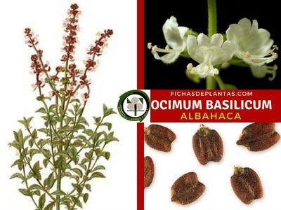 Ocimum basilicum, Planta Medicibal