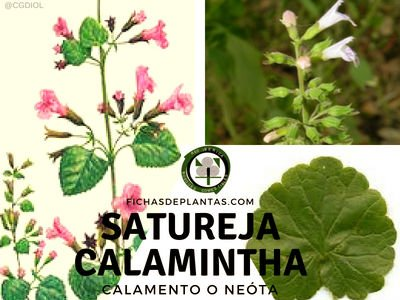 Satureja calamintha, Neota