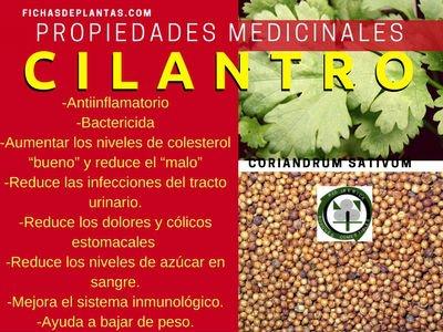 cilantro-propiedades