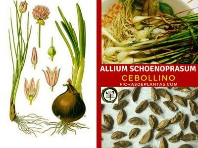 Allium schoenoprasum, Cebollino