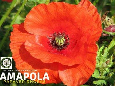 Amapola, Papaver rhoeas | Descripción y Propiedades