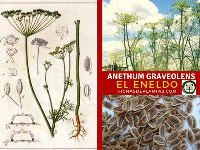 Anethum graveolens, Eneldo