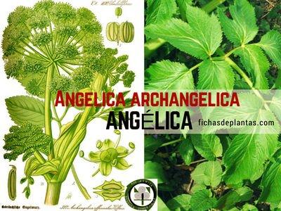 Angelica archangelica, Ángelica