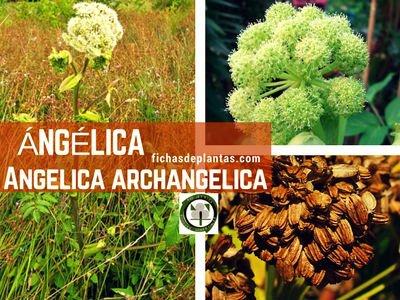 Angelica, Angelica archangelica | Ficha Descriptiva y Propiedades