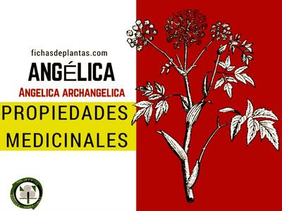 Angélica Propiedades Medicinales