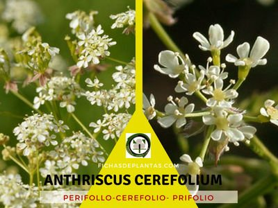 Anthriscus cerefolium, Perifollo