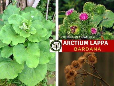 Arctium lappa, Bardana