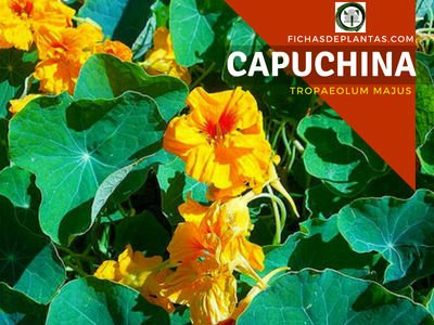 Capuchina Planta Medicinal