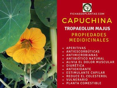 Capuchina Propiedades Medicinales