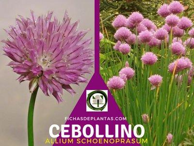 Cebollino, Planta Medicinal y Comestible