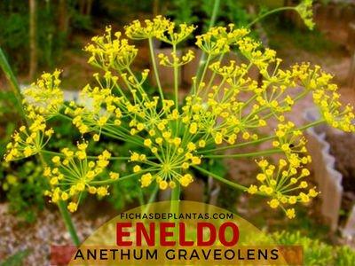 Eneldo, Anethum graveolens | Descripción y Propiedades