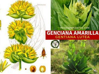 Genciana Amarilla, Gentiana lutea