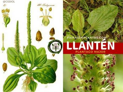 Llantén, Planta Medicinal