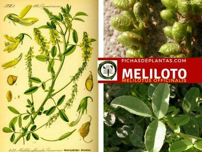 Meliloto Planta Medicinal