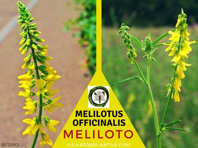 MELILOTO, Melilotus officinalis | Descripción y Propiedades