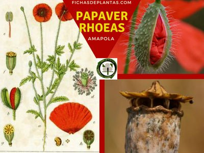 Papaver rhoeas, Amapola