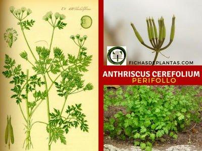 Perifollo, Anthriscus cerefolium