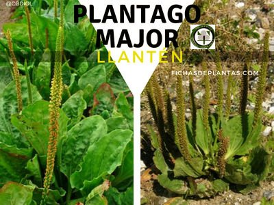 Plantago major, Llantén
