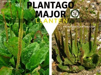 Llantén, Plantago major | Descripción y Propiedades Medicinales