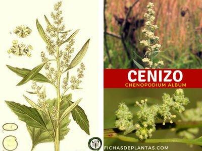 Cenizo-Indice de Plantas