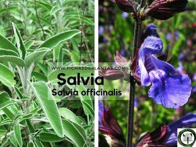 Salvia officinalis, Salvia