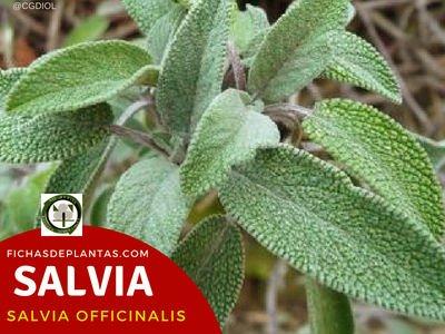 Salvia, Salvia officinalis | Descripción y Propiedades Medicinales