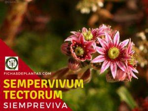Sempervivum tectorum, Siempreviva