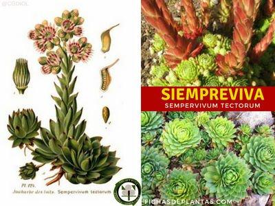 Siempreviva Planta Medicinal
