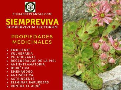 Siempreviva Propiedades Medicinales