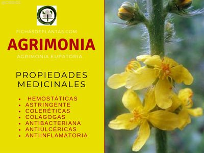 Agrimonia Propiedades Medicinales