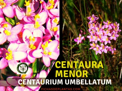 Centaura menor, Centaurium umbellatum