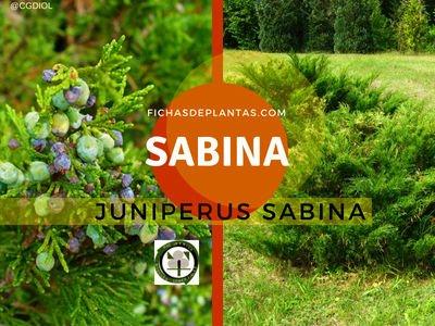 Sabina , Juniperus sp. | Descripción y Propiedades