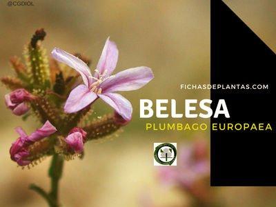 Plumbago europaea, Belesa