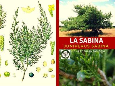 Sabina, Juniperus sabina