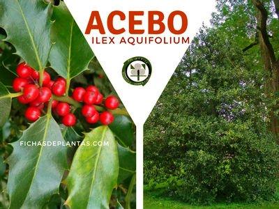 ACEBO, Ilex aquifolium | Descripción y Propiedades Medicinales