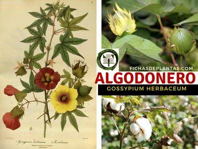 Algodonero Planta Medicinal