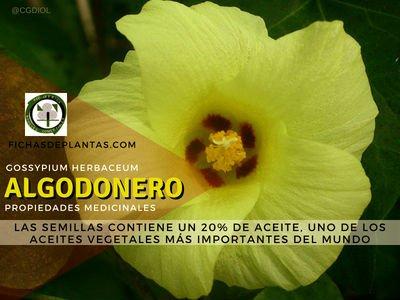 Algodonero Propiedades Medicinales