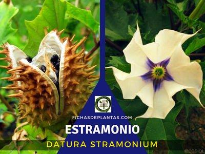 Estramonio, Datura stramonium | Fichas de Plantas