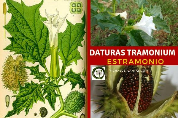 Estramonio Planta