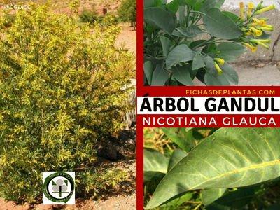 Árbol Gandul, Nicotina glauca, Tabaco Salvaje