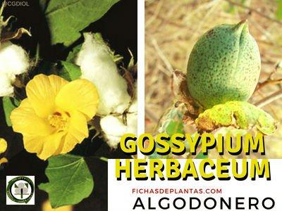 ALGODONERO o Gossypium herbaceum | Fichas de Plantas