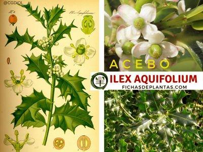 Ilex aquifolium, Acebo