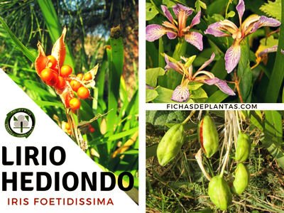 Lirio hediondo, Iris foetidissima