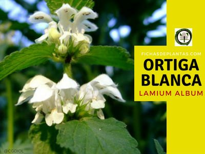 LA ORTIGA BLANCA, Urtica urens | Fichas de Plantas