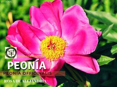 Rosa de Alejandría, Peonía officinalis | Descripción y Propiedades