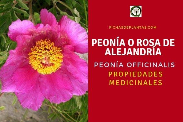 Peonía Propiedades Medicinales