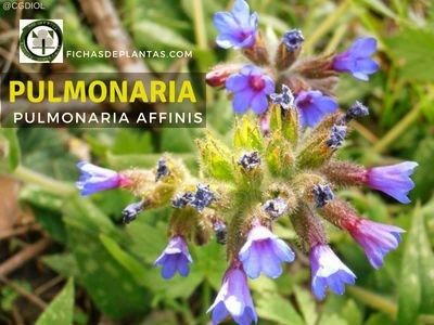PULMONARIA , Pulmonaria affinis | Fichas de Plantas