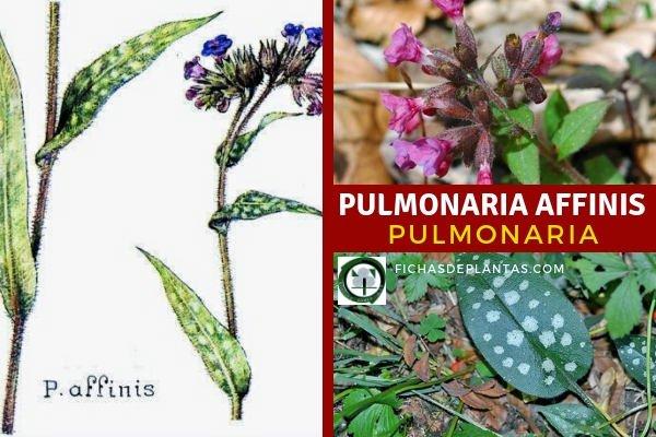 Pulmonaria Planta